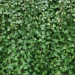 Wall of ivy — Stock Photo