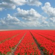 Flowerfield — Stock Photo
