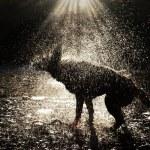 A Dog Shaking — Stock Photo #30721447