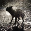 Stock Photo: Dog Shaking Off Water