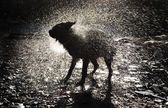 Dog Shaking Off Water — Stock Photo