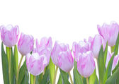 Tulips as Background — Stock Photo