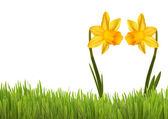 Two Yellow Daffodils — Stock Photo
