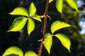 Shiny green leaves — Stock Photo
