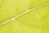 Green leaf macro — Стоковое фото