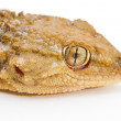 Gecko/ — Stock Photo