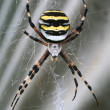 Argiope spider - Stock Photo