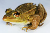 Green-brown Frog — Stock Photo