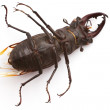 Stag Beetle (male) — Stock Photo