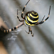 Argiope spider — Stock Photo