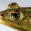Foto Stock: Eye of Frog
