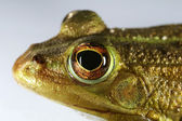The Eye of the Frog — Stock Photo