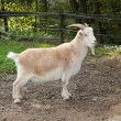 Foto de Stock  : Grown-white goat