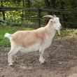 Grown-white goat - Stock Photo