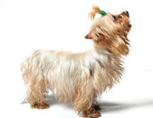 国内的狗 — 图库照片