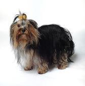 Yerli köpek — Stok fotoğraf
