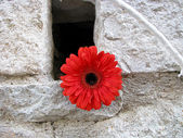 Red gerbera flower on a wall — Stock Photo