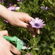 Pruning a flower vertical - Stock Photo