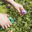 Stock Photo: Pruning flower with focus on pruning shears