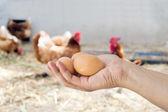 Ruka držící hnědá vejce v kurníku — Stock fotografie