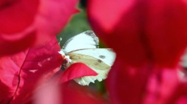 White butterfly closeup — Stock Video