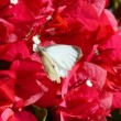 Stock Video: Butterfly and pollination