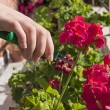 Pruning a flower — Stock Photo