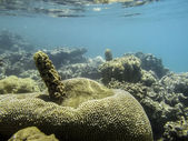 Great coral reef red sea — Stock Photo