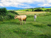 Donkey and cow grazing — Stock Photo