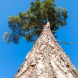 Stock Photo: Lone green pine