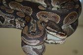 Ball Python Snake on Mirror — Stock Photo