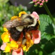 Closeup of bumble bee collecting pollen on pink and yellow flower — Stock Photo