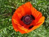 Orange poppy — Stock Photo