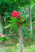 Euphorbia milii plant — Stock Photo