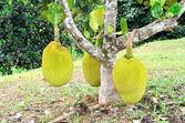 Jackfruits on a tree — Stock Photo