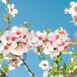 Spring blooming cherry tree against blue sky — Stock Photo