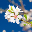 Royalty-Free Stock Photo: Small bunch of white spring blossom