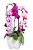 Living lilac orchids flowers in flowerpot isolated on white — Stock Photo