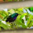 Palestine sunbird outside the window — Stock Photo