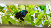 Little sunbird sitting on citrus tree — Stock Photo