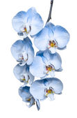 Exotic tropical branch of romantic blue orchids flowers — Stock Photo