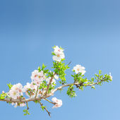 Single blooming branch of apple tree against spring blue sky — Stock Photo