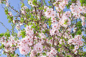 Bright clear stock photo spring bloom of apricot tree — Stock Photo