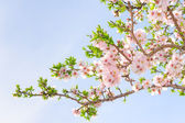 Branch of pink spring blossom cherry tree — Stock Photo