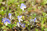 Small spring blue flowers on the sunlit meadow — Stock Photo