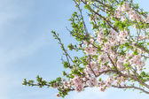 Spring blooming almond tree with flowers and foliage — Stock Photo