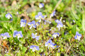Small blue spring flowers on the sunlit meadow — Stock Photo