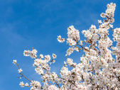 Springtime bloom of apricot tree against blue sky — Stock Photo