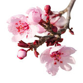 Branch of spring plum blossom with pink flowers and buds — Stock Photo