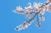 Sunlit spring blooming branch of cherry tree — Stock Photo